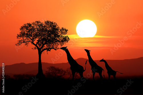 Papiers peints Corail Large South African Giraffes at Sunset in Africa
