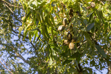 Pecan Tree With Ripening Fruit