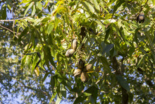 Pecan Nuts Ripening On Tree