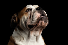 Close-up Portrait Of Dog British Bulldog Breed, White And Red Color, Looking Up On Isolated Black Background