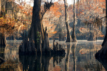 """Bald Cypress Forest In Autumn, Showing A """"knees"""" And A Rusty Col"""