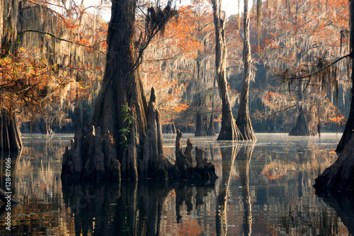 "Fotografiet  Bald cypress forest in autumn, showing a ""knees"" and a rusty col"