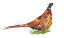 Bird Pheasant Game Bird Waterc...