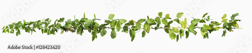 Fotografia  vine plants isolate on white background, clipping path included.