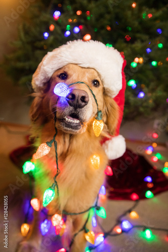 Golden Retriever Dog wrapped in colorful Christmas lights - Buy this ...