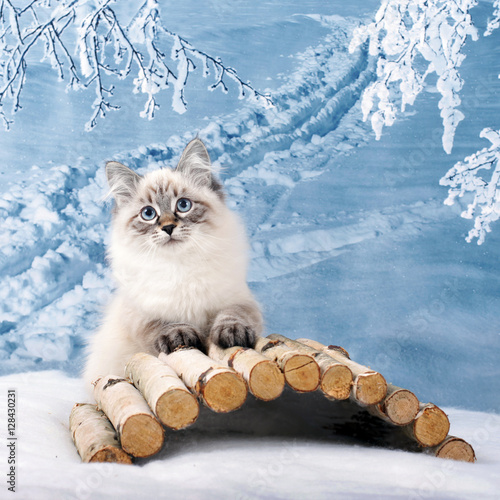 Siberian kitten on winter nature in snow Wallpaper Mural