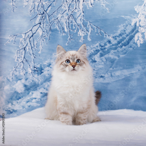 Siberian kitten on winter nature in snow Canvas Print