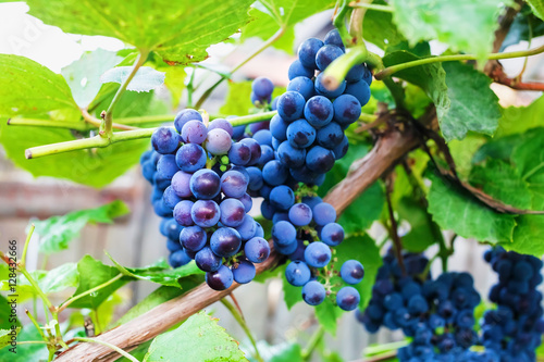 Grapes in the vineyard. Shallow depth of field. Selective focus.