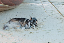 Selective Focus Of Siberian Husky Lying And Take A Rest On The B