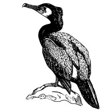 The Bird Is A Cormorant