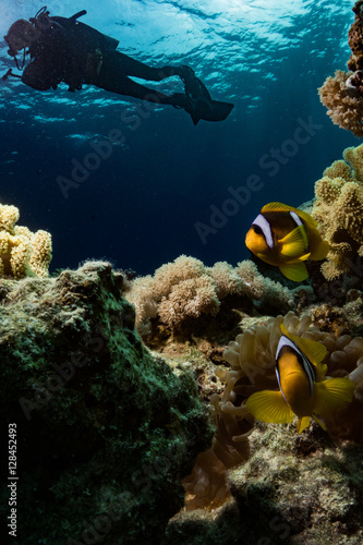 Fotografie, Tablou  Clownfish - anemonefish in the Red Sea