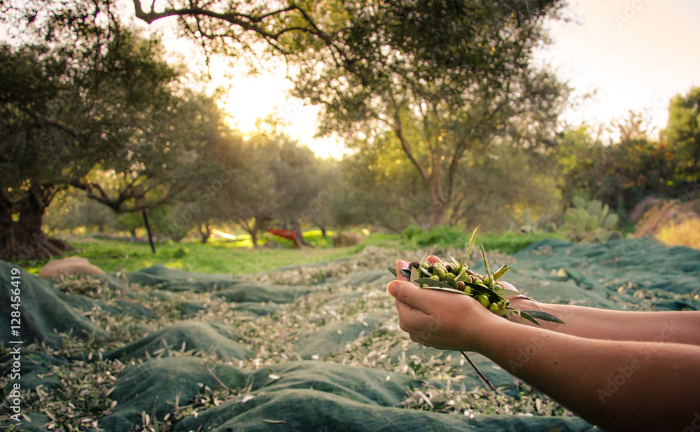 Fototapety, obrazy: Woman keeps some of the harvested fresh olives in a field in Crete, Greece for olive oil production, using green nets, at sunset.