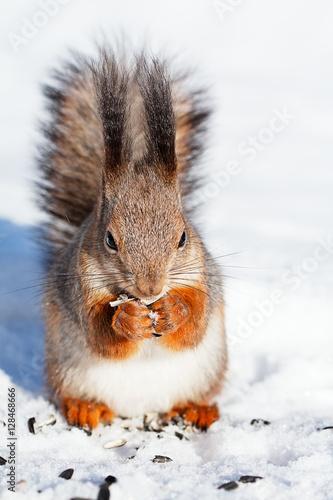 Tuinposter Eekhoorn red squirrel in winter