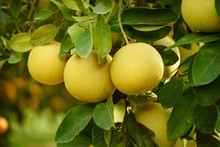 Ripe Pomelo Fruits Hang On The...