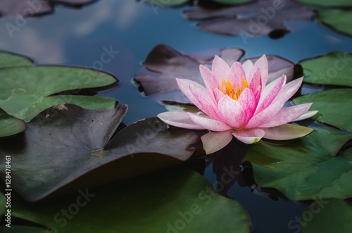 Deurstickers Lotusbloem beautiful lotus flower in pond