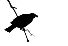 Blackbird On A Branch Eating Rowan Berries. Silhouette.