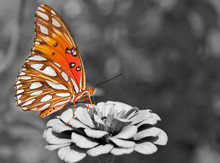 Ventral View Of A Gulf Fritill...