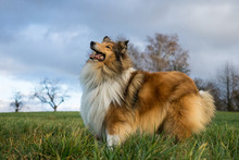 Gold Rough Collie Looking Forward To Play