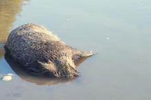Dead Boar In The Water Horizon...