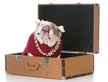 Female Dog Inside Suitcase