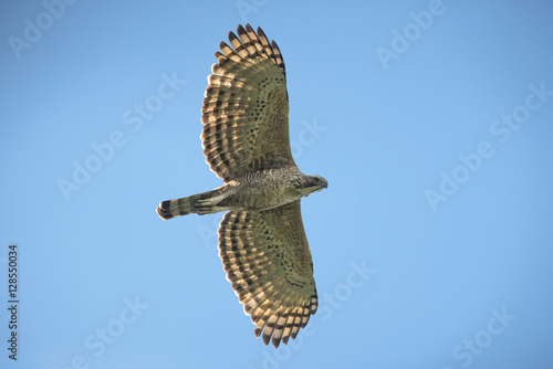 Photo  Mountain Hawk Eagle (Spizaetus nipalensis orientalis)