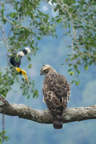 Photo  Beautiful bird, Mountain Hawk Eagle (Spizaetus nipalensis orientalis)