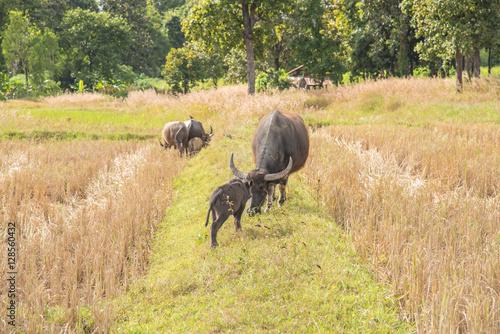 Foto auf Gartenposter Reisfelder Buffalo eating hay in rice field,Harvest time last year