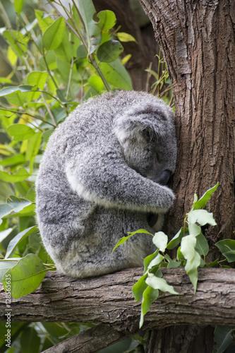 Staande foto Koala Sleeping koala