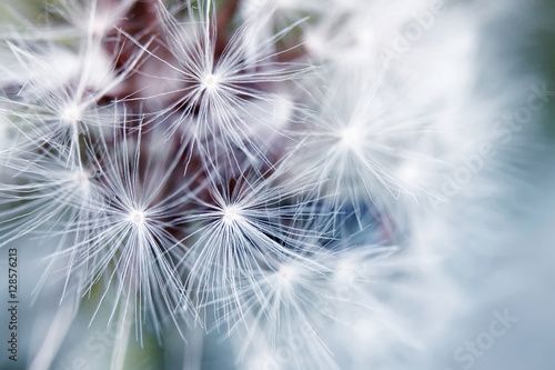 Montage in der Fensternische Lowenzahn delicate background of white soft and fluffy seeds of the dandelion flower