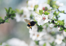 Shaggy Bumblebee Flying Toward A Blossoming Branch Of Apple Tree In Spring Garden