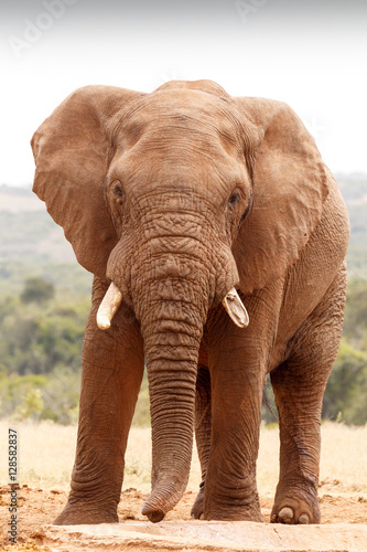 Foto op Aluminium Olifant African Bush Elephant looking straight at you