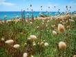 wilde Gräser am Meer, Strand auf Sardinien, milde Brise Wind  über die grasbedeckte Landschaft  mit weichen Ähren, sanft wehend