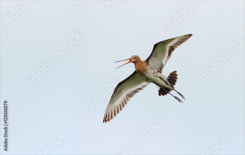 Black-tailed godwit flying and crying Tapéta, Fotótapéta