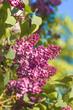 spring lilac violet flowers soft floral background