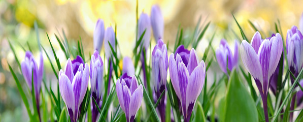 Fototapeta Kwiaty crocus mauves format panoramique