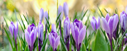 Photo sur Toile Crocus crocus mauves format panoramique