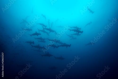 Photo Cocos island hammerhead sharks
