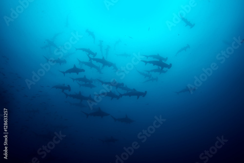 Cocos island hammerhead sharks Canvas Print
