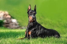 Doberman Relaxing On Grass