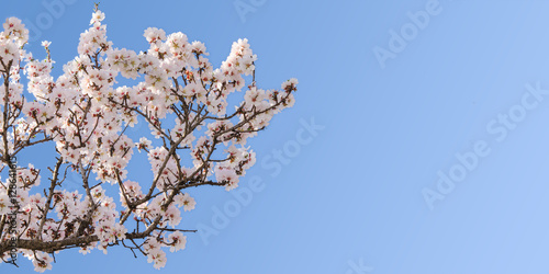 Photo  Big branch of springtime blossom almond tree