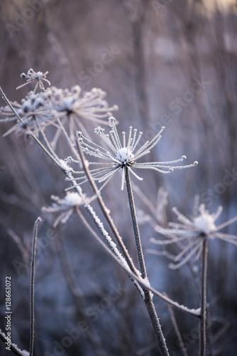pokryte-sniegiem-kwiaty-zimowe