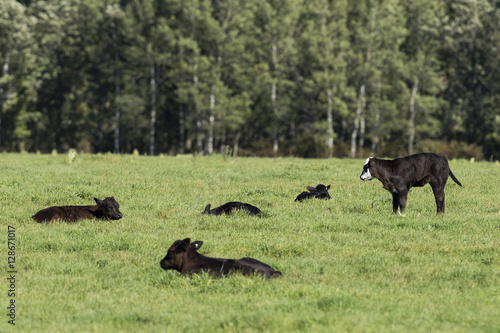 Black Angus Calves