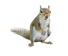 Young Squirrel  Seeds  On A Wh...