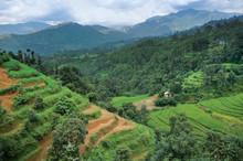 Terrace Rice Fields Near Katma...