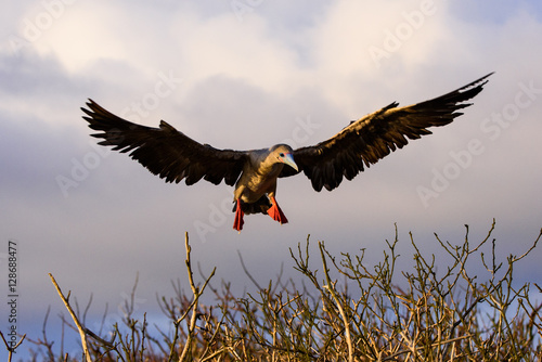 Photo  Red-footed Booby Landing