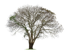 Isolated Tree With No Leaves , Dead Tree On White Background