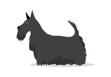 Scottish Terrier, Aberdeen Ter...