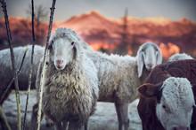Pecore Al Pascolo In Montagna ...