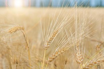organic golden ripe ears of wheat in field