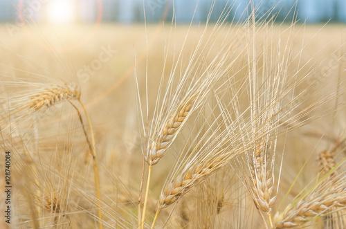 Poster Pissenlit organic golden ripe ears of wheat in field